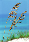 Sea Oats Photo Framed Prints - Sea Oats Gulf of Mexico Framed Print by Thomas R Fletcher