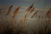 Sea Oats Photo Framed Prints - Sea Oats Framed Print by Joetta West