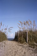 Sand Fences Prints - Sea oats line the path Print by Taylor S. Kennedy