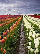 Tulips Art - Sea of Color by Mike  Dawson
