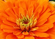 Zinnia Elegans Framed Prints - Sea of Orange Framed Print by Bruce Bley