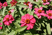 Zinna Photos - Sea of Pink by Bruce Bley