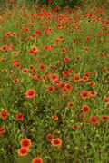 Wildflowers Prints - Sea of Red Print by Robert Anschutz