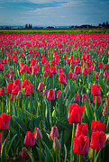 Agronomy Photo Framed Prints - Sea of Red Tulips Framed Print by Inge Johnsson
