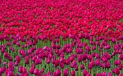 Colorful Flowers Prints - Sea of Tulips Print by Mike  Dawson