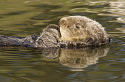Otter Prints - Sea Otter  Elkhorn Slough Monterey Bay Print by Sebastian Kennerknecht