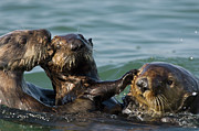 Interacting Prints - Sea Otter Enhydra Lutris Bachelor Male Print by Suzi Eszterhas
