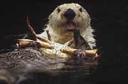 Animal Behaviour Art - Sea Otter Enhydra Lutris Female Eating by Gerry Ellis
