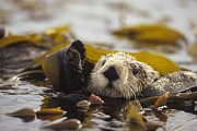 Otter Photos - Sea Otter Enhydra Lutris Floating by Gerry Ellis