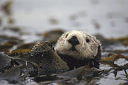 Sea Otters Posters - Sea Otter Enhydra Lutris In Kelp Bed Poster by Gerry Ellis