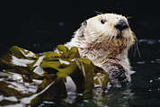 Otter Photos - Sea Otter Enhydra Lutris Portrait by Gerry Ellis