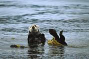 Otter Prints - Sea Otter Enhydra Lutris Wrapped Print by Konrad Wothe
