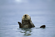 Clapping Metal Prints - Sea Otter In  Prince William Sound Metal Print by Suzi Eszterhas