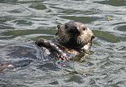 Otters Originals - Sea Otter by Joanne Jonas-mcrae