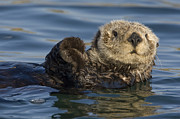 Sea Otters Posters - Sea Otter Monterey Bay California Poster by Suzi Eszterhas