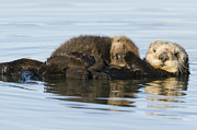 Sea Otters Posters - Sea Otter Mother And Pup Elkhorn Slough Poster by Sebastian Kennerknecht