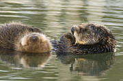 Otter Photos - Sea Otter Mother And Pup Sleeping by Sebastian Kennerknecht