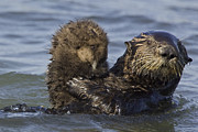 Sea Otters Posters - Sea Otter Mother Holding Pup Monterey Poster by Suzi Eszterhas
