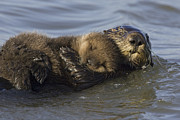 Sea Otters Posters - Sea Otter Mother With Pup Monterey Bay Poster by Suzi Eszterhas