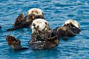 Otter Photos - Sea Otter Naptime by Adam Pender