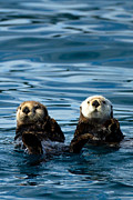 Alaska Photos - Sea Otter Pair by Adam Pender