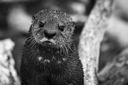 Slide Prints - Sea Otter Portrait Print by Darcy Michaelchuk