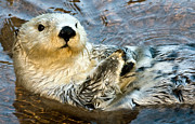 Marine Mammal Prints - Sea Otter Portrait Print by Jim Chamberlain
