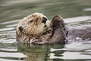 Otter Photos - Sea Otter Profile by Tim Grams