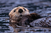 Sea Otter Posters - Sea Otter Poster by Yva Momatiuk and John Eastcott and Photo Researchers