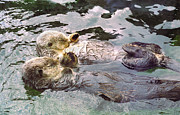 Marine Pyrography - Sea Otters Holding Hands by BuffaloWorks Photography
