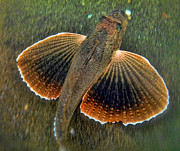 Dweller Prints - Sea Robin Print by Paul Ward