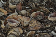 St Pete Photos - Sea Shells 1 by Maria Suhr