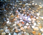 Beach Art Mixed Media Posters - Sea Shells Poster by Evelyn Patrick