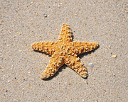 Beachcomber Posters - Sea Star Poster by Al Powell Photography USA