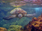 Hawaiian Green Sea Turtle Photos - Sea Turtle - Close Up by Bette Phelan