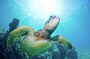 Green Sea Turtle Photos - Sea Turtle And Coral Reef by Monica and Michael Sweet