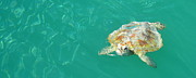 Monkey Mia Prints - Sea Turtle Print by Angela White
