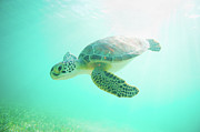 Wild Metal Prints - Sea Turtle Baby Metal Print by Monica and Michael Sweet