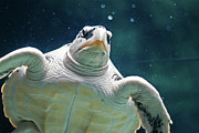 Captivity Posters - Sea Turtle Poster by Ellen van Bodegom