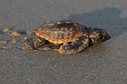 Julie Bostian - Sea Turtle Hatchling at...