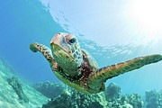 Swimming Animal Prints - Sea Turtle, Hawaii Print by M.M. Sweet