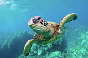 Underwater Photo Acrylic Prints - Sea Turtle, Hawaii Acrylic Print by Monica and Michael Sweet
