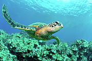 Green Turtle Prints - Sea Turtle In Coral, Hawaii Print by M Sweet