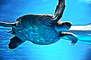 Tortoise Prints - Sea Turtle Print by Lisa McKinney