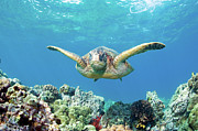 Green Turtle Posters - Sea Turtle Maui Poster by M.M. Sweet