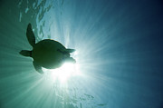 Sea Green Posters - Sea Turtle Poster by M.M. Sweet