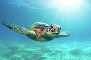 Underwater Metal Prints - Sea Turtle Metal Print by Monica and Michael Sweet
