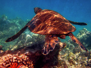 Hawaiian Green Sea Turtle Photos - Sea Turtle on the Reef by Bette Phelan