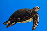Wasan Gredpree - sea turtle painting on...