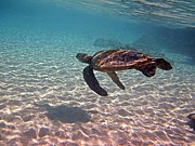 Hawaiian Green Sea Turtle Photos - Sea Turtle Shadow on Sand by Bette Phelan